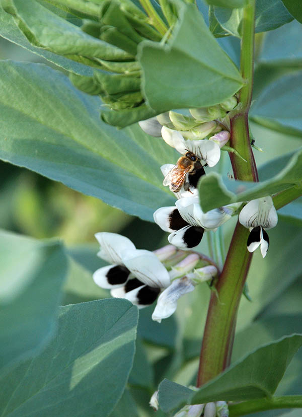 broad beans and bee