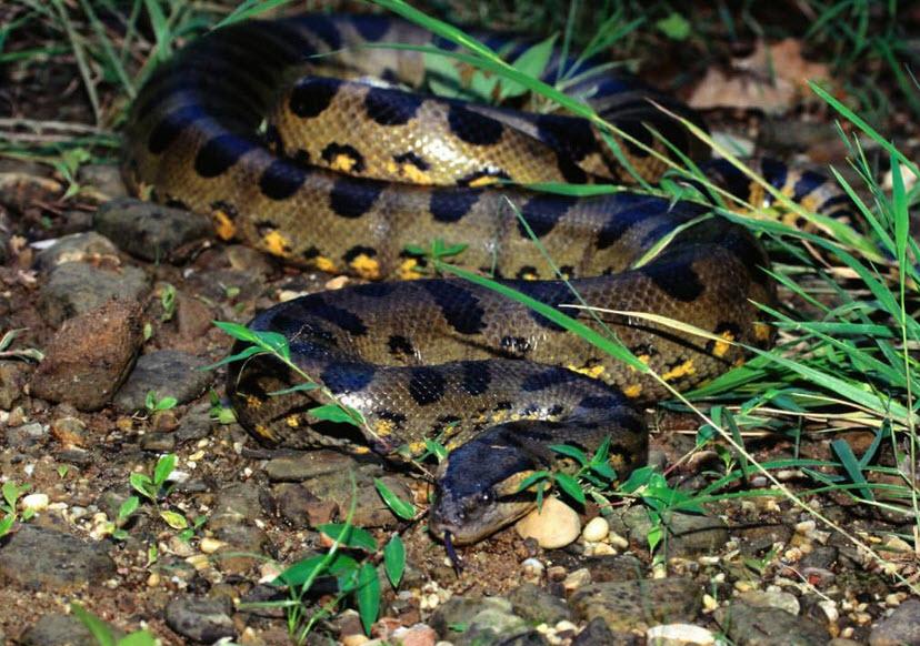 Green Anaconda | The Life of Animals
