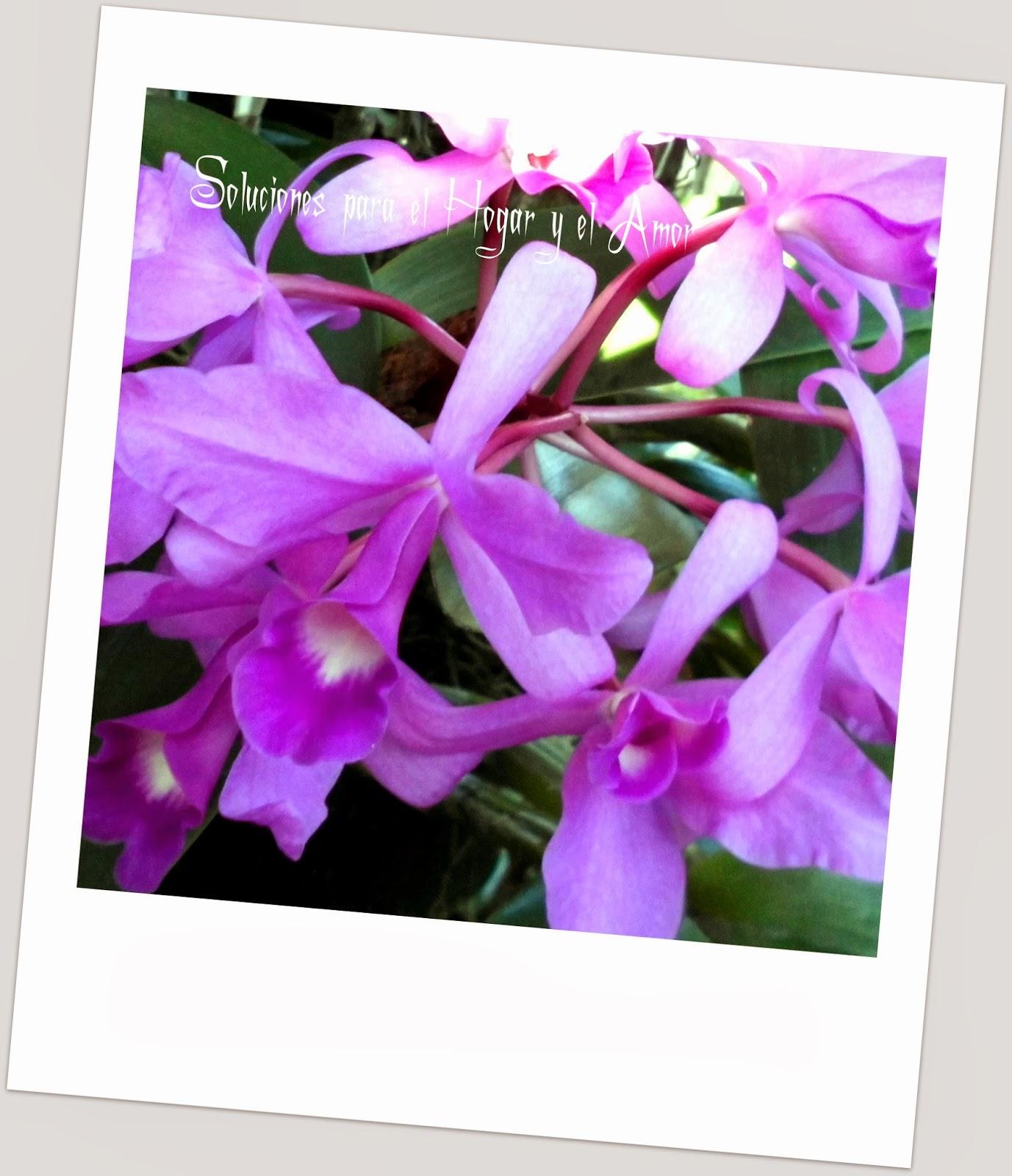 Orquídea Cattleya skinneri
