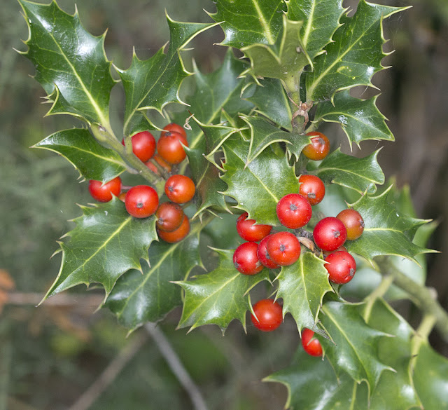 Holly berries, Ilex aquifolium. Hayes Common, 22 September 2011.