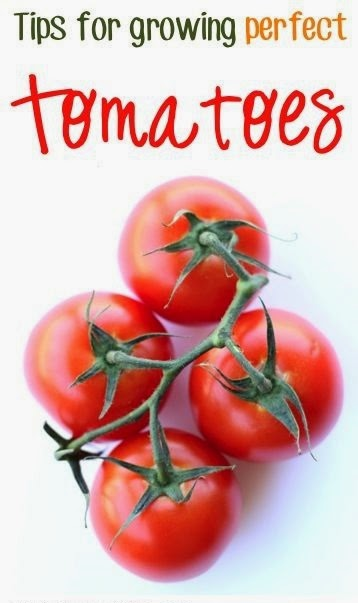 Tips for Growing Perfect Tomatoes #vegetable_gardening