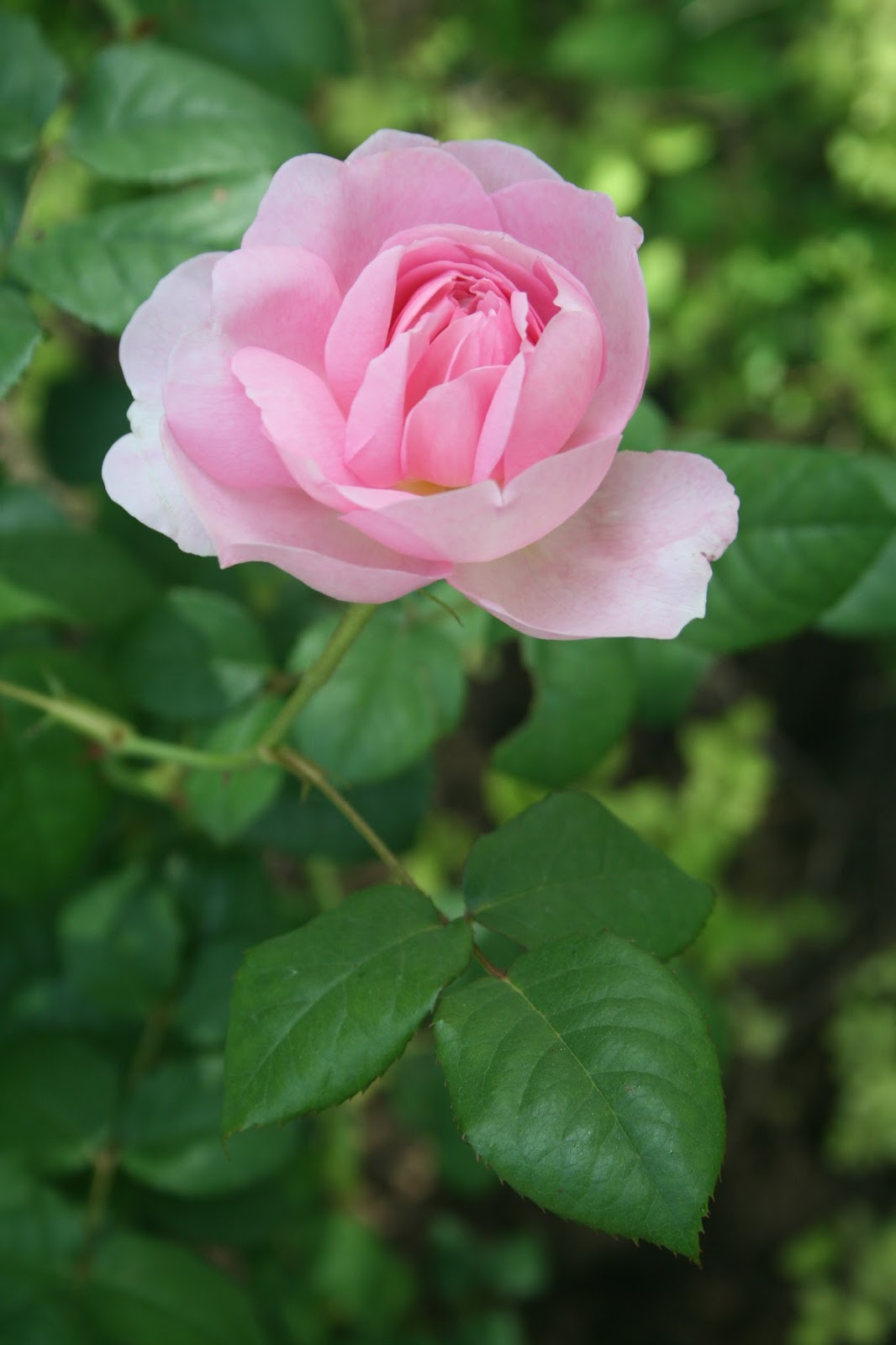 A Joyful Handmaiden Their Last Name Is Rose