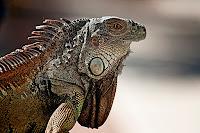 Fotos macro de una iguana en fotosmacro.blogspot.com