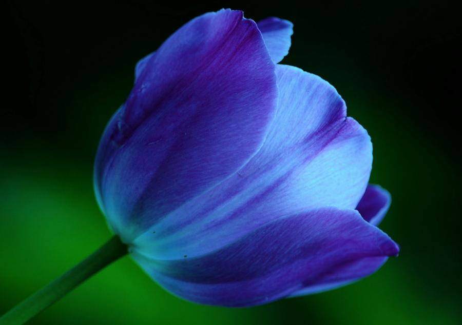 SIMPLE SOLUTIONS FOR PLANET EARTH AND HUMANITY: HONOHONO ... Single Blue Tulip