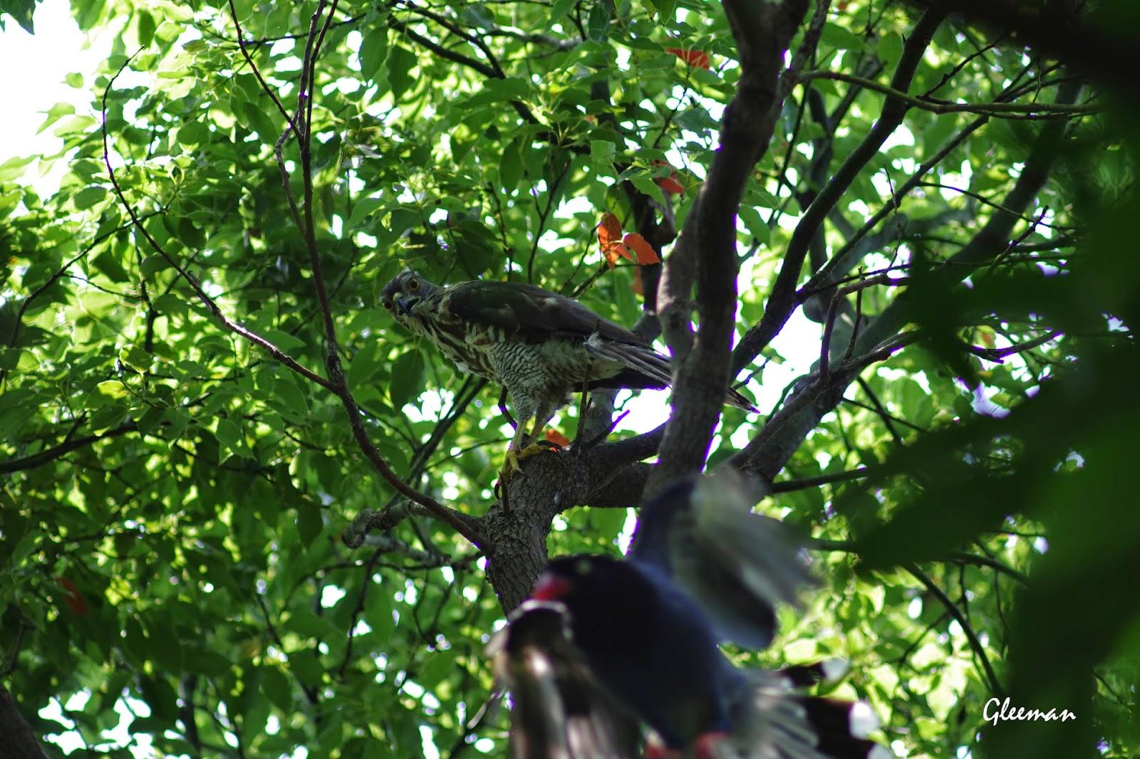 「離我的蓮霧樹遠一點!」XD 雞南山的鳳頭蒼鷹與台灣藍鵲