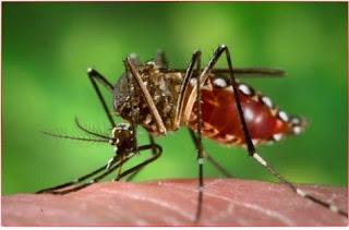 gigitan nyamuk Aedes aegypti