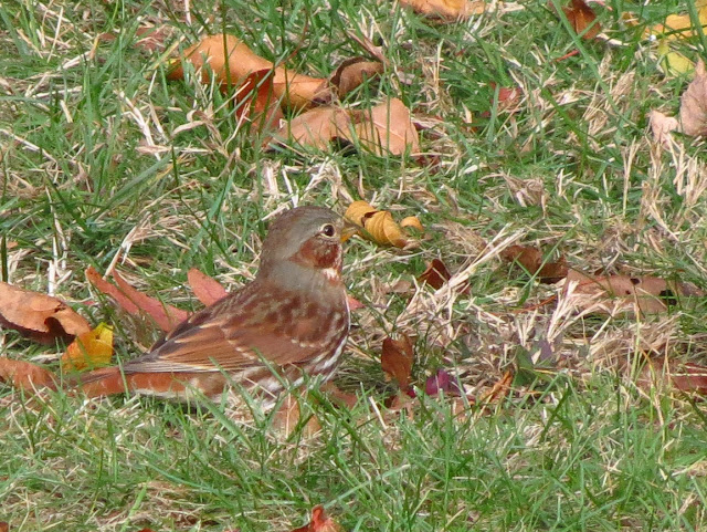 fox sparrow another angle