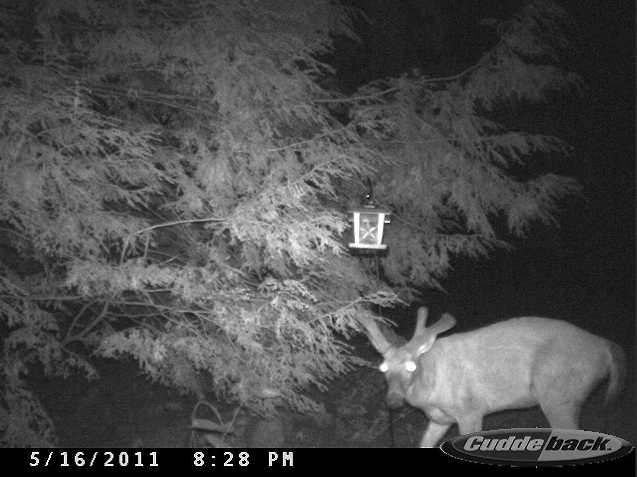 Displaying 18> Images For - Fisher Cat Attack Humans... Scary Deer Cam Pictures