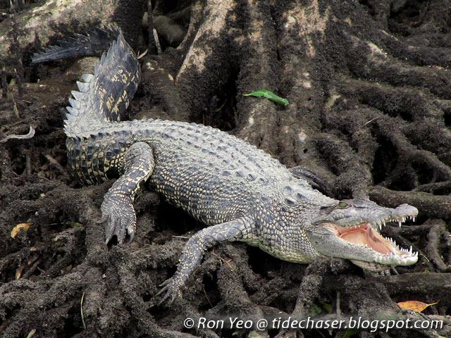 tHE tiDE cHAsER: Reptiles (Phylum Chordata: Class Reptilia ...