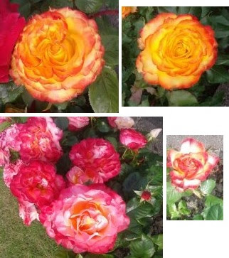 Whoopidooings: Carmen Wing - Rose inspiration for Summer of Colour