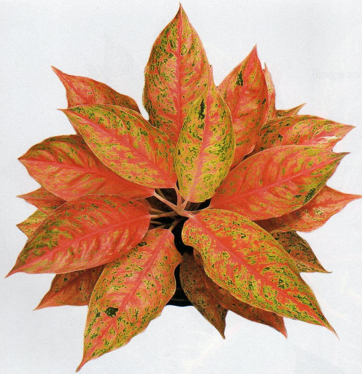 Identify Ornamental Plants Of Aglaonema - Life Is Beautiful