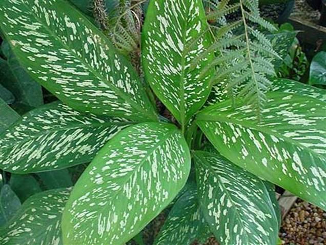 El cambalache y yo planta peligrosa - Plantas venenosas de interior ...