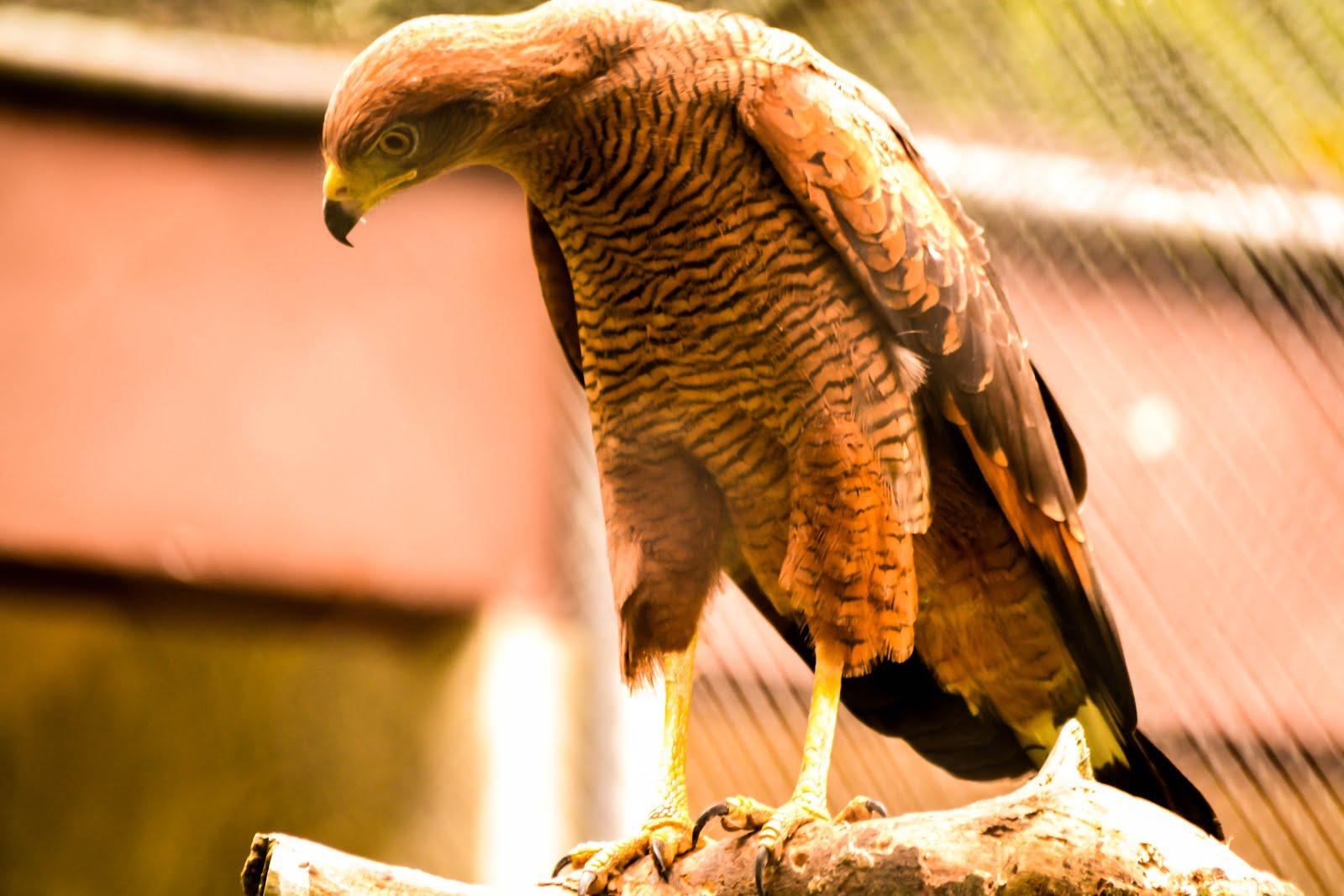 A Elegância da Águia