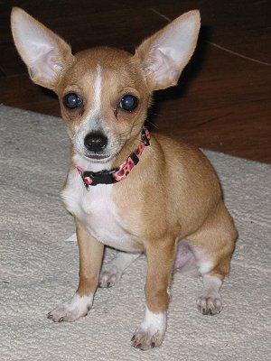 El ojo del buitre: Perros - Chihuahua
