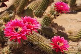 Flor de Cactus V