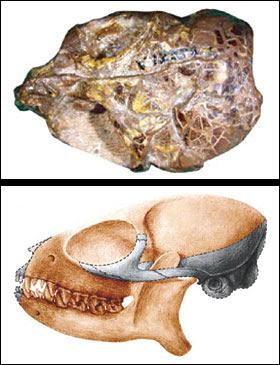 Teilhardina skull