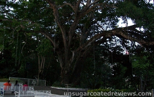 big tree at Shrine Hills