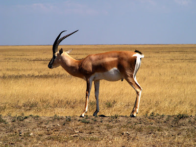 Gazelle in Serengeti national reserve. Tanzania, Africa by JoseeMM