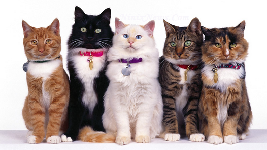 Hewan Kucing