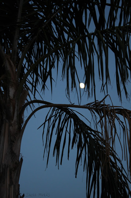 moon, palm-tree, tree, palm, white, night, evening, desert, landscape, luna, nature, view, sarah myers, photography, photograph,  palmas, sky, dark, white, blanco,
