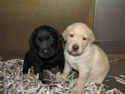 A black Lab puppy and a yellow Lab puppy
