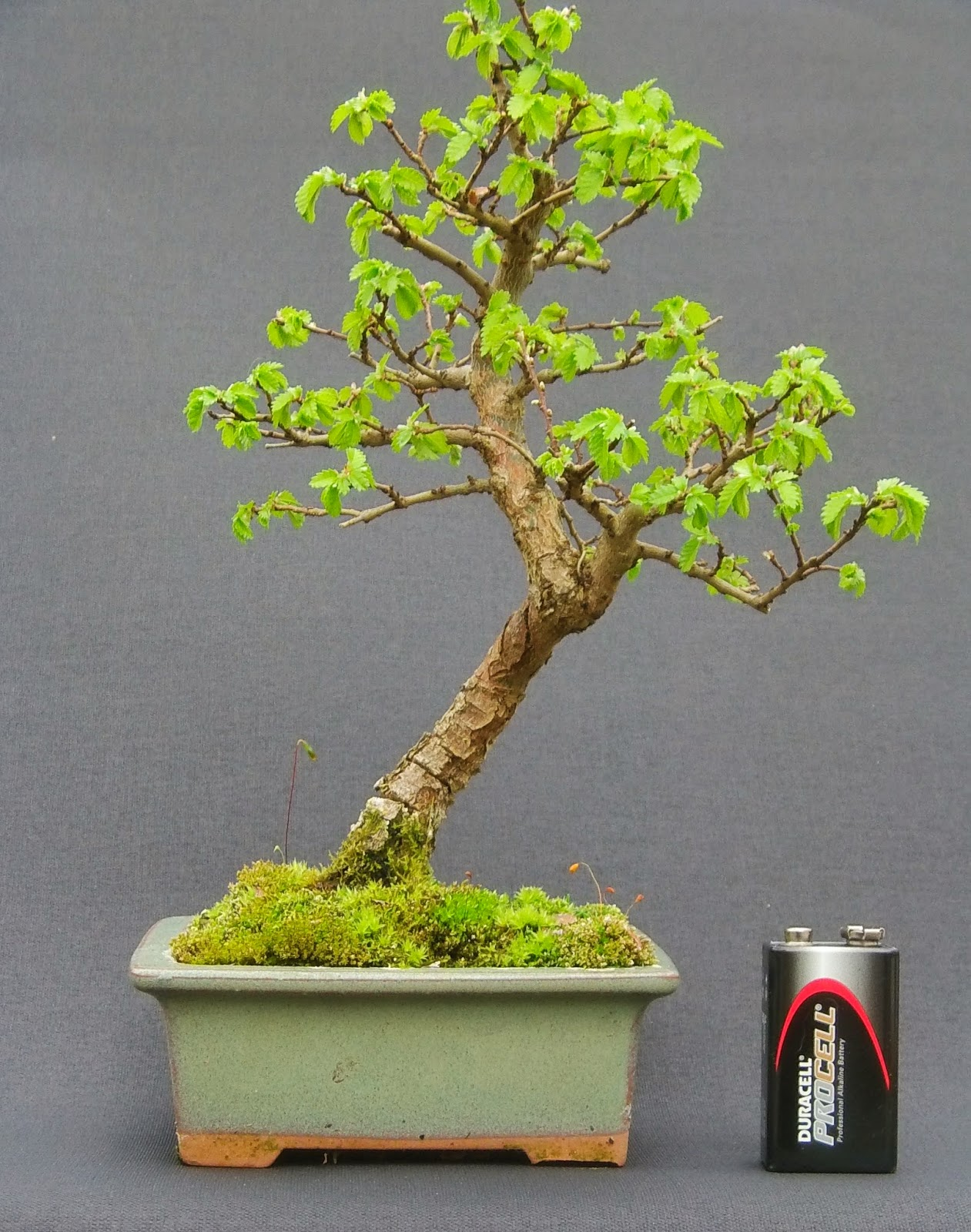 MiKo Bonsai
