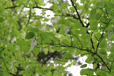 Dunn Gardens - Davidia involucrata - Handkerchief or Dove Tree