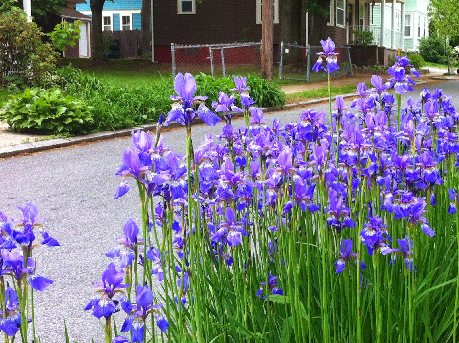 Parkway irises