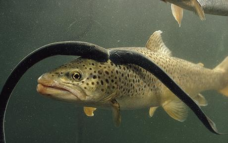November rains lamprey for Michigan fish stocking