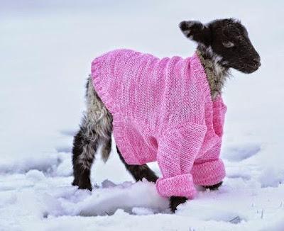 kambing pakek baju