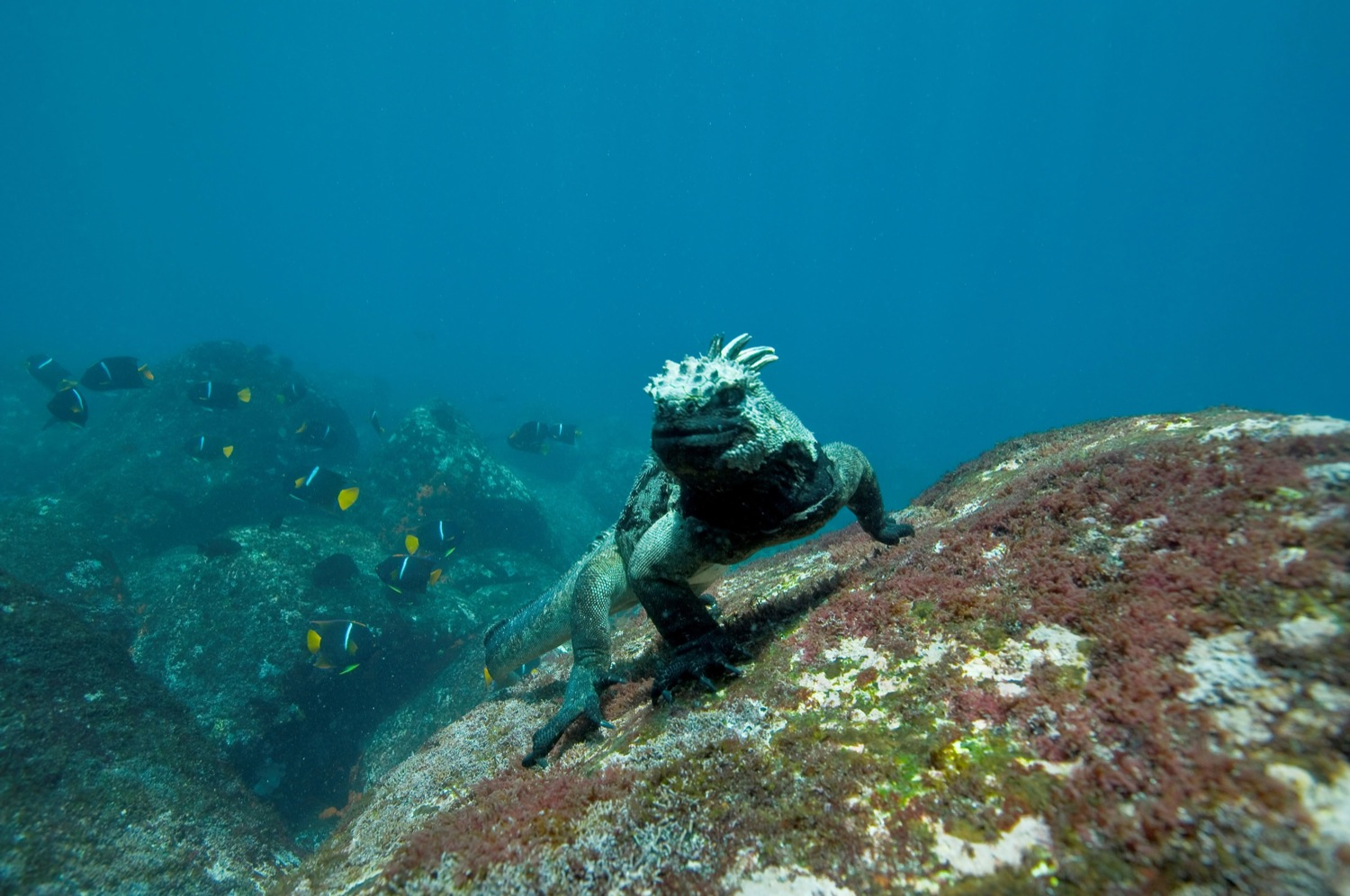 of marine iguanas while in the waters is the presence of wild animals ...