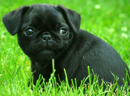 Puppies on Los Perros De Raza Pug   Tambien Llamados Carlino   Se Pudo Crear De