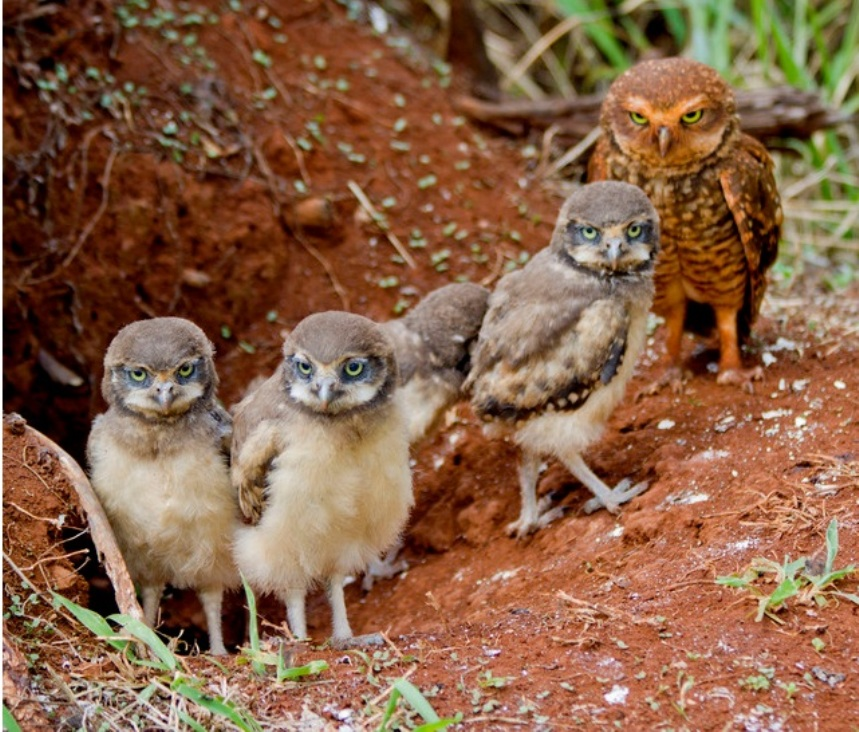 Coruja buraqueira - mãe e filhotes - Foto de Celso Queiroz
