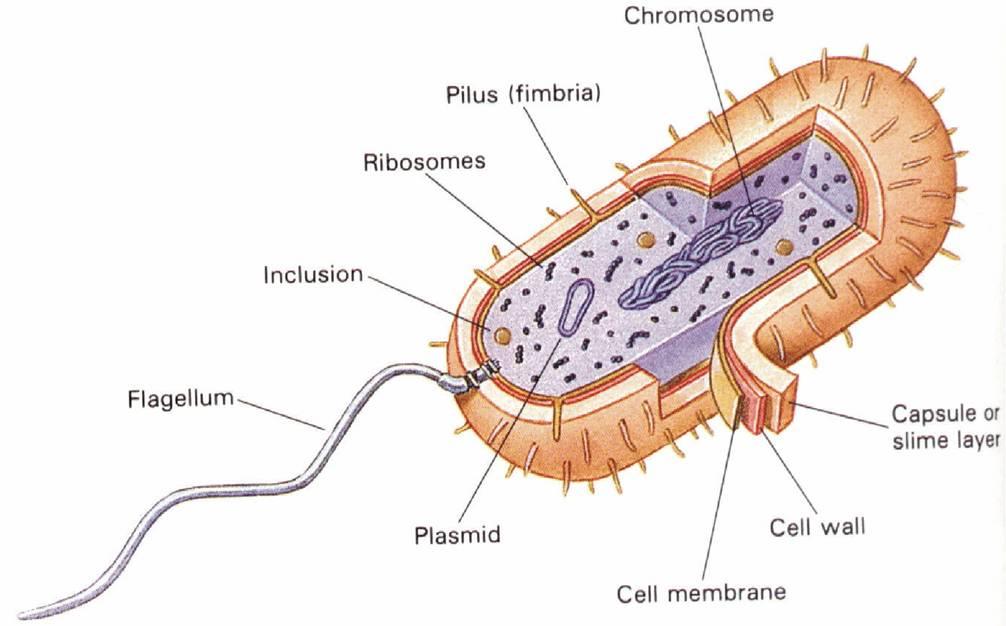 Struktur Bakteri Biologi Sma Islam Miftahussa Adah