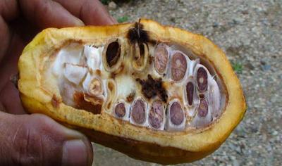 Penggerek Buah Kakao (Conophomorpha cramerella)