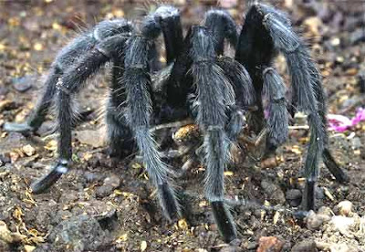 nhện độc amazon