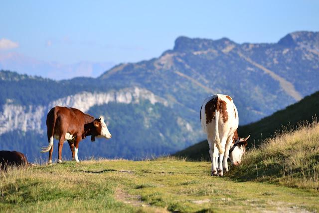 Vaches en paturage dans le Vercors