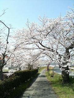 三次の桜の写真