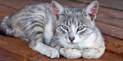 Kotoran Kucing, Obat Masa Depan Kanker?