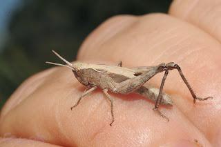 """Gomphocerinae, sacado de un campo que iba a ser """"regado"""" con purines"""