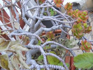 planta suculenta crassula portulacea