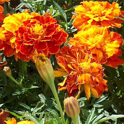 11 Tanaman Pengusir Nyamuk, bunga marigold, dammar-asihan.blogspot.com