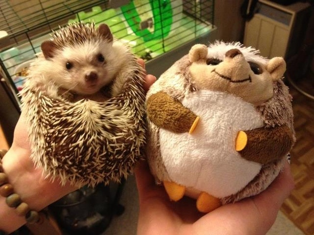 funny aniamls, hedgehog and his stuffed