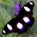 Black Spot Butterfly (kupu-kupu)