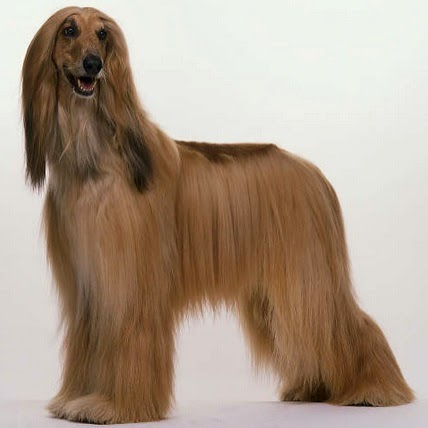 Amazing Long Haired Dog Breeds