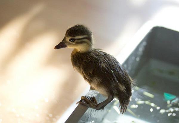Cute baby mandarin duck swimming, cute baby duck, baby duck pictures