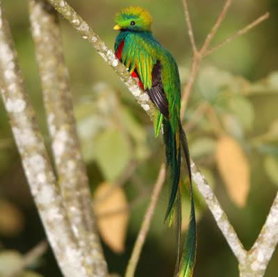 Quetzal-animales-raros-cola-larga