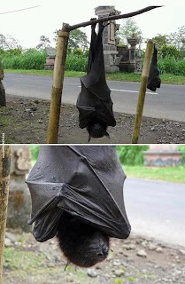 Giant Golden Crowned Flying Fox Hanging
