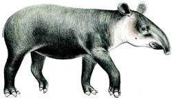 Más datos sobre el Tapir Centroamericano