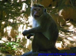 Monos en el camino del Templo de oro de Dambulla